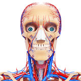 Front view of circulatory system of head Stock Photo