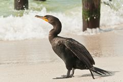 Adolescent, double-crested cormorant standing on a tropical, sandy beach. Front view, close distance of a single, adolescent, double-crested cormorant on a stock photos