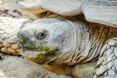 Front view close up African spurred tortoise resting in the garden. It's the third-largest species of tortoise in the world, Beautiful African Spurred royalty free stock photos