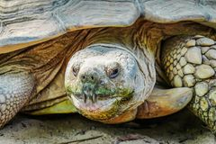 Front view close up African spurred tortoise resting in the garden. It's the third-largest species of tortoise in the world, Beautiful African Spurred royalty free stock photography