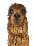 Front view Close-up of Alpaca Royalty Free Stock Image
