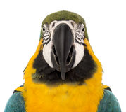 Front view close-up of a Blue-and-yellow Macaw, Ara ararauna, 30 years old Stock Photos