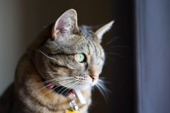 Front view close up of cat staring off into distance. Tabby cat looking out window alone, with collar, green eyes, isolated stock images