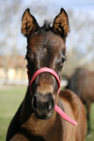 Front view closeup of a few weeks old foal Royalty Free Stock Photography