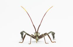 Front view closeup of wheelbug Royalty Free Stock Image