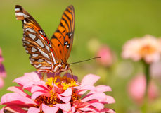 Front view of a colorful Gulf Fritillary butterfly Stock Photography