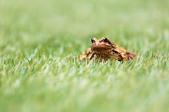 Front View of Common Frog in Grass Royalty Free Stock Images