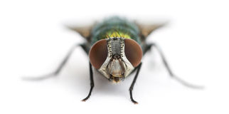 Front view of a Common green bottle fly facing, Phaenicia sericata. Isolated on white Stock Images