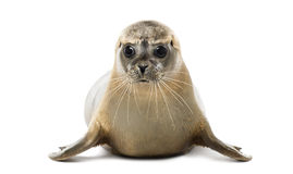 Front view of a Common seal lying, looking at the camera stock photo