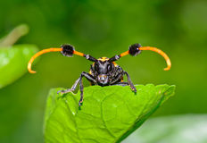 Front view of common tuft-bearing longhorn hanging on  leaf Stock Images