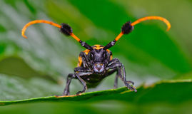 Front view of common tuft-bearing longhorn hanging on  leaf Royalty Free Stock Photos