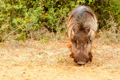 Front view of a common warthog Royalty Free Stock Photos