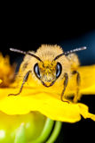 Front view of a compact cellophane bee Royalty Free Stock Images