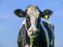 Front view of a cow with one bulby horn stump and fluffy ears, and a blue sky. stock photo