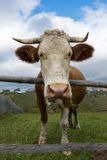 Front view of a cow over a fence Stock Photos