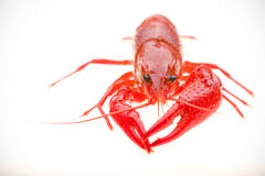 Front view of crayfish Royalty Free Stock Image