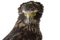 Crested Serpent Eagle Spilornis cheela, birds of prey. stock photo