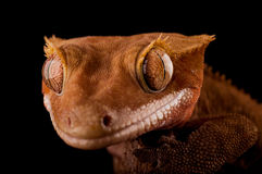 Crested gecko. Front view crested gecko studio setting Royalty Free Stock Photos