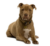 Front view of Crossbreed dog lying down Royalty Free Stock Photo