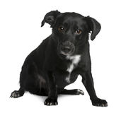Front view of Crossbreed dog sitting Royalty Free Stock Images