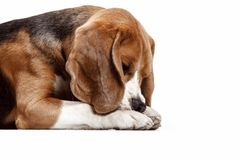 Front view of cute beagle dog sitting, isolated on a white background. Front view of cute beagle dog sitting, isolated on a white studio background Royalty Free Stock Photo