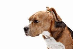 Front view of cute beagle dog sitting, isolated on a white background. Front view of cute beagle dog sitting, isolated on a white studio background Royalty Free Stock Photos