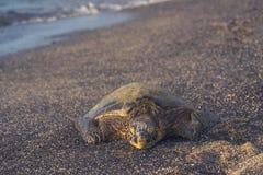 Front View da tartaruga de mar verde Fotos de Stock