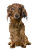 Front view of a Dachshund sitting (1 year old) Stock Photography