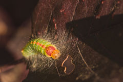 Front view of Dagger moth caterpillar. Royalty Free Stock Photo