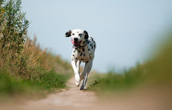 Front View of Dalmatian Dog Running on Path Royalty Free Stock Images