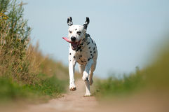 Front View of Dalmatian Dog Running on Path Stock Photography