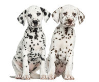 Front view of Dalmatian puppies sitting, facing. Isolated on white royalty free stock photo