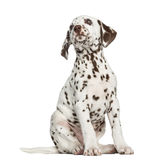 Front view of a Dalmatian puppy looking up, isolated Stock Photo