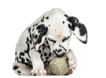 Front view of a Dalmatian puppy playing with a tennis ball Royalty Free Stock Photo