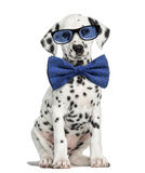 Front view of a Dalmatian puppy wearing glasses and sitting stock image