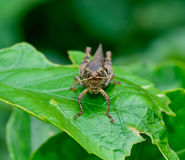 Front view of dark brown and yellow grasshopper standing on gr stock photography