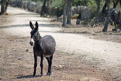 Front view of a dark donkey in the countryside Stock Photography