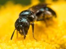 Front View der dunkelgrünen metallischen Schweiss-Biene auf gelber Blume stockfotografie