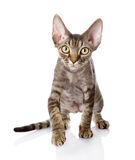 Front view of an Devon rex kitten walking Stock Photo