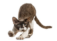 Front view of a Devon rex stretching isolated on white Royalty Free Stock Image