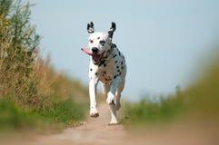 Front View die van Dalmatische Hond op Weg lopen Stock Fotografie