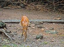 Front View do angasii ou do Nyala do Tragelaphus Imagens de Stock