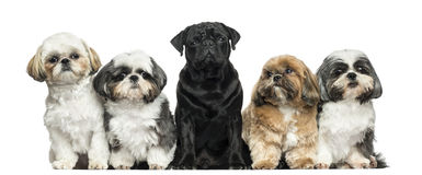 Front view of Dogs in a row, sitting, isolated Royalty Free Stock Photo