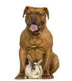 Front view of a Dogue de Bordeaux panting, sitting with a rabbit Royalty Free Stock Photography
