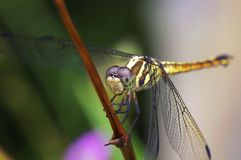 Front view of dragonfly Stock Images