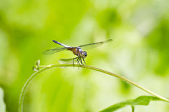 Front view of a dragonfly Stock Photos