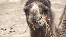 Dromedary chewing in super slow motion. Front view of dromedary head chewing in super slow motion stock video footage