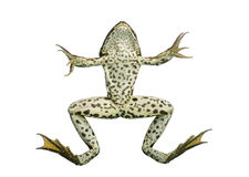 Front view of an Edible Frog swimming up to the surface. Pelophylax kl. esculentus, isolated on white stock photo