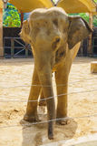 Front view of the elephant Royalty Free Stock Photos
