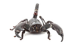 Front view of Emperor Scorpion Stock Images